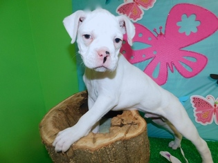 View Ad Boxer Puppy For Sale Near Indiana Hammond Usa Adn 71949