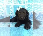 Small Photo #6 Labradoodle Puppy For Sale in EDEN, PA, USA