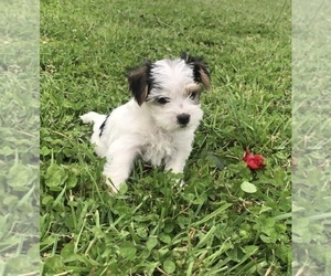 Morkie Puppy for sale in HERNDON, KY, USA