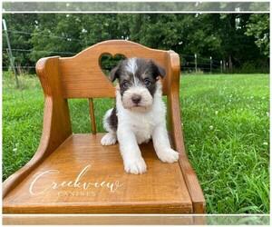 Schnauzer (Miniature) Puppy for Sale in NIANGUA, Missouri USA