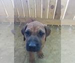 Puppy 12 Rhodesian Ridgeback