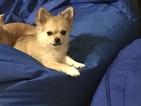 Small #20 Chihuahua