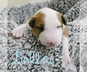Bull Terrier Puppy for sale in KENDALL, FL, USA