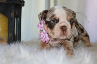 English Bulldog Puppy For Sale in SAN DIEGO, CA, USA