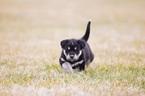 Small #7 Labrador Retriever-Siberian Husky Mix
