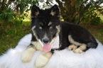 Siberian Husky Puppy For Sale in HONEY BROOK, Pennsylvania,
