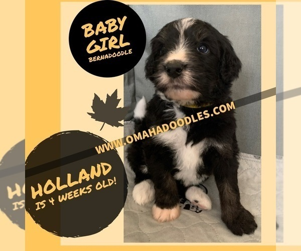 Medium Photo #2 Bernedoodle Puppy For Sale in OMAHA, NE, USA