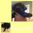 Labrador Retriever Puppy For Sale in OKEECHOBEE, FL