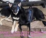 Small #15 German Shepherd Dog-Wolf Hybrid Mix