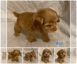 Cocker Spaniel Puppy for Sale in EVERETT, Washington USA
