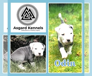 American Pit Bull Terrier Puppy for Sale in BONNEY LAKE, Washington USA