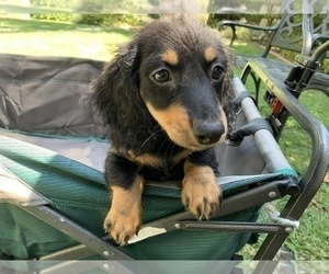 Dachshund Puppy for Sale in MALIBU, California USA