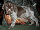 AKC German Shorthaired Pointer Puppy Liberty