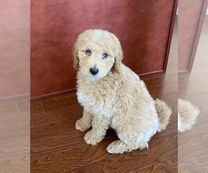 Goldendoodle (Miniature) Puppy for sale in HAMILTON, NJ, USA