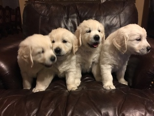 Golden Retriever Puppy For Sale in MIDLOTHIAN, TX, USA