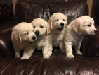Golden Retriever Puppy For Sale in MIDLOTHIAN, TX,