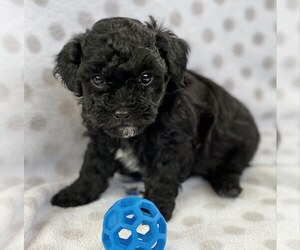 Poodle (Miniature)-Zuchon Mix Puppy for sale in ALGOMA, WI, USA