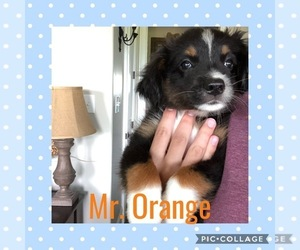 Miniature Australian Shepherd Puppy for Sale in ELKTON, Kentucky USA