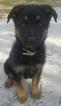 German Shepherd Dog Puppy For Sale in FORT PIERCE, FL, USA