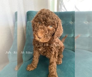 Poodle (Standard) Puppy for sale in DUNCAN, OK, USA