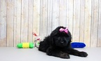 Labradoodle Puppy For Sale in PORTSMOUTH, OH, USA