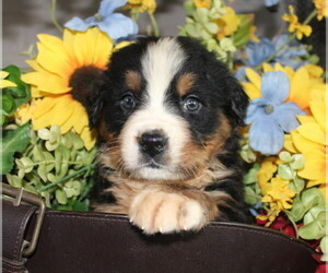 Bernese Mountain Dog Puppy for Sale in ANTLERS, Oklahoma USA