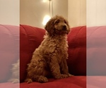 Small #24 Goldendoodle-Poodle (Standard) Mix