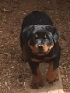 Rottweiler Puppy For Sale in SCOTTSDALE, AZ, USA