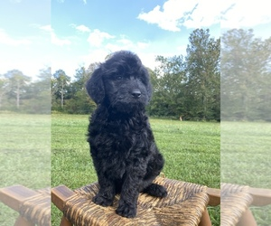 Goldendoodle Puppy for sale in SURGOINSVILLE, TN, USA