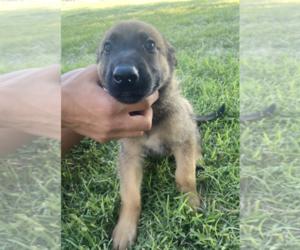 Malinois Puppy for Sale in BURBANK, Washington USA