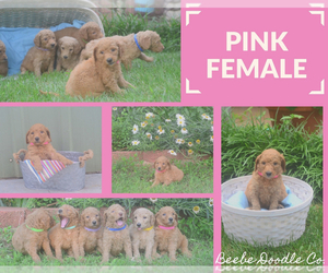 Goldendoodle Puppy for Sale in GARBER, Oklahoma USA