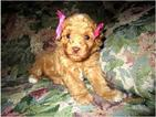 Poodle (Toy) Puppy For Sale in SEATTLE, WA, USA