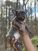 French Bulldog Puppy For Sale in RALEIGH, NC, USA