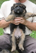 German Shepherd Dog Puppy For Sale in GATES MILLS, OH,
