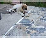 Small #841 Anatolian Shepherd-Maremma Sheepdog Mix
