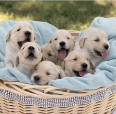 Golden Retriever Puppy For Sale in RIVERDALE, CA, USA
