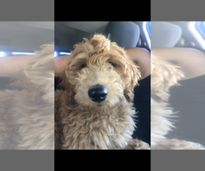 Goldendoodle Dog for Adoption in FORKED RIVER, New Jersey USA
