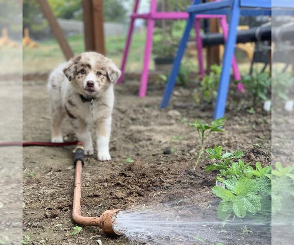 Medium Photo #4 Australian Shepherd Puppy For Sale in SPOKANE, WA, USA