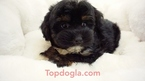 Morkie Puppy For Sale in LA MIRADA, California,