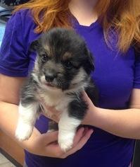 Pembroke Welsh Corgi Puppy For Sale in CASPER, WY, USA