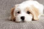 Cavaton Puppy For Sale in GASTON, SC, USA