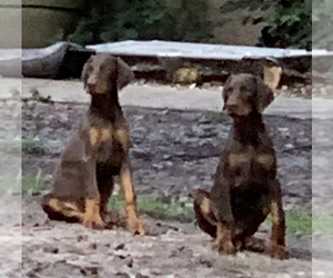 Doberman Pinscher Puppy for sale in PALMETTO, FL, USA