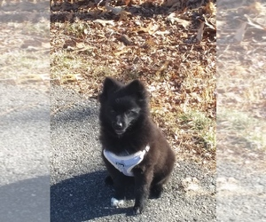 Pomeranian Puppy for sale in EDGEWOOD, MD, USA