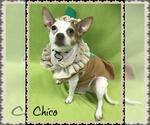 Small #54 Chihuahua Mix