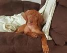 Vizsla Puppy For Sale in TURTLE LAKE, WI, USA