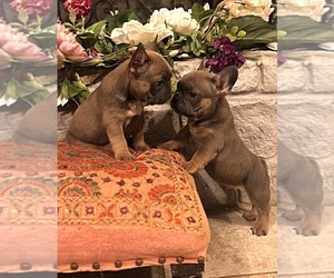 French Bulldog Puppy for sale in CALDWELL, TX, USA