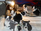 Boston Terrier Puppy For Sale in HARTFORD, CT