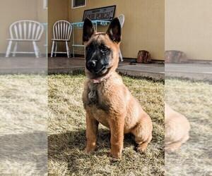 Belgian Malinois Puppy for sale in SNOWFLAKE, AZ, USA