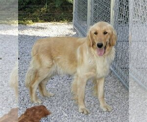 Mother of the Golden Retriever puppies born on 06/01/2021