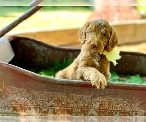 Irish Doodle Puppy for Sale in BREMERTON, Washington USA